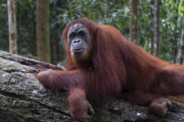 Orángután szumátrai dzsungelben