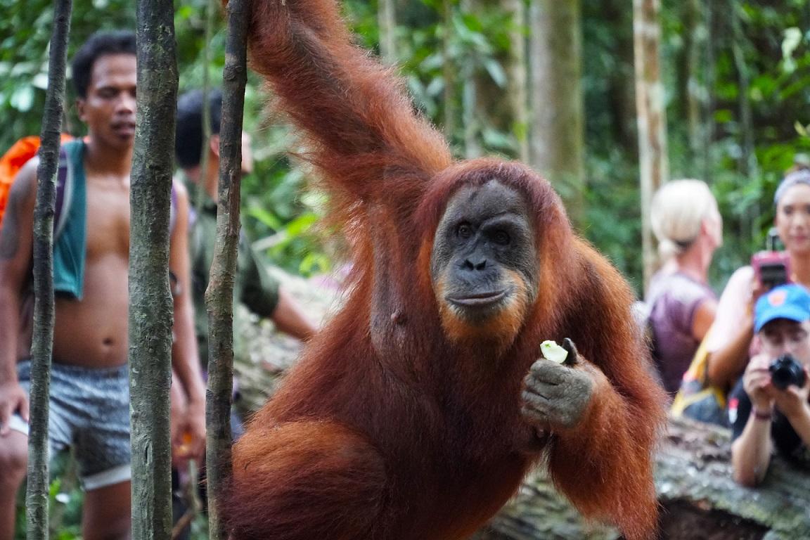 Orangután szumátrai dzsungelben