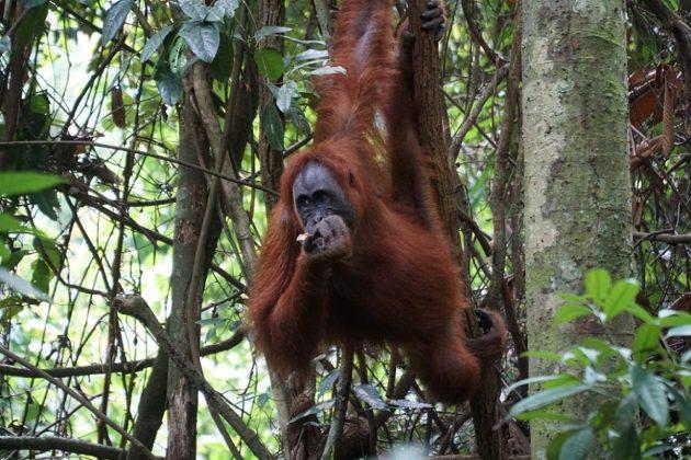 orangután indonézia szumátra