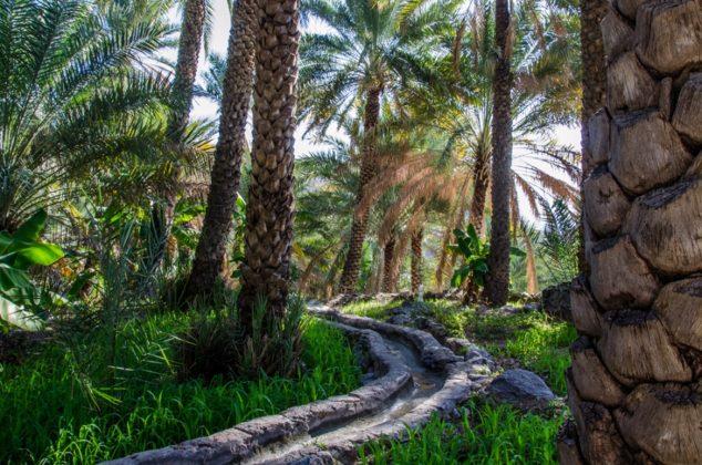 Datolya ültetvény Omán
