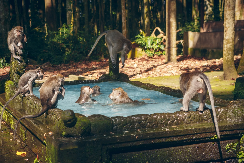 Sangeh majomerdő Bali Indonézia