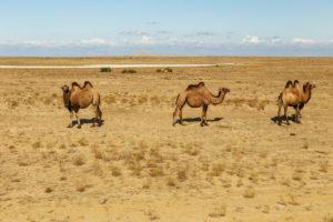 tevék a kiszáradt Aral-tó helyén